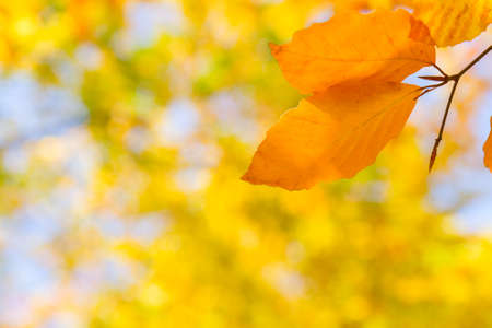 yellow leaves in autumn park photo