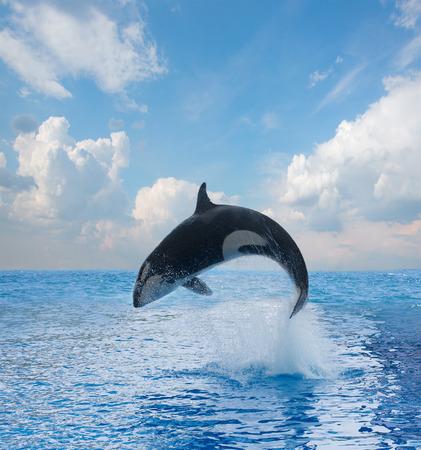 ballena azul: saltando orca Foto de archivo