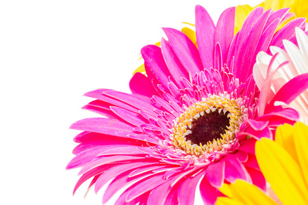 pink gerbera flower close up isolated on white background photo