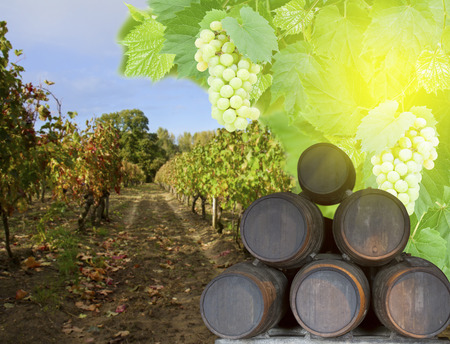 grapple: wine yard with wine barrels and green fresh foliage with grape at sunny day