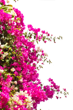 border of bougainvillea flowers isolated on white background Banque d'images