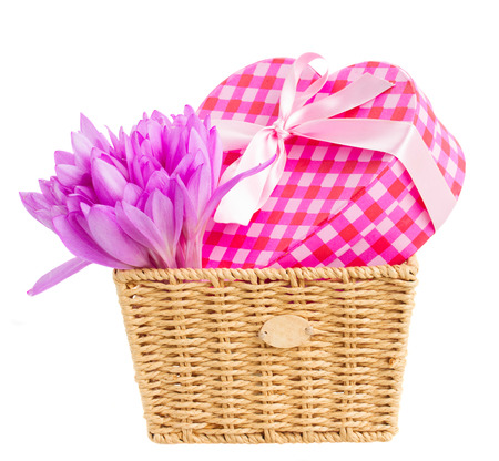 colchicum autumnale: basket with  meadow saffron violet flowers  and gift box isolated on white