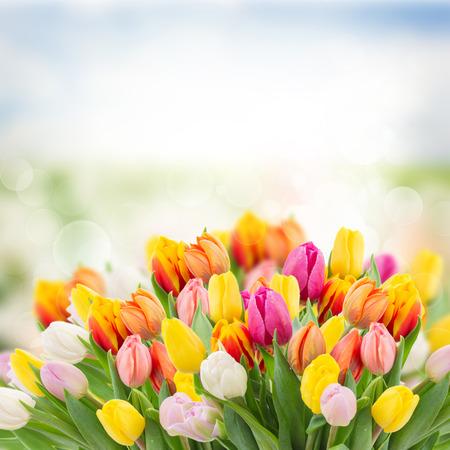 cenefas flores: tulipanes en el jardín en el fondo bokeh con la hierba y el cielo Foto de archivo
