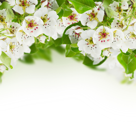 Blossoming apple  tree flowers with fresh green leaves against white background photo