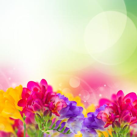 blue, pink and yellow freesia  flowers border  on garden bokeh  background Stock Photo