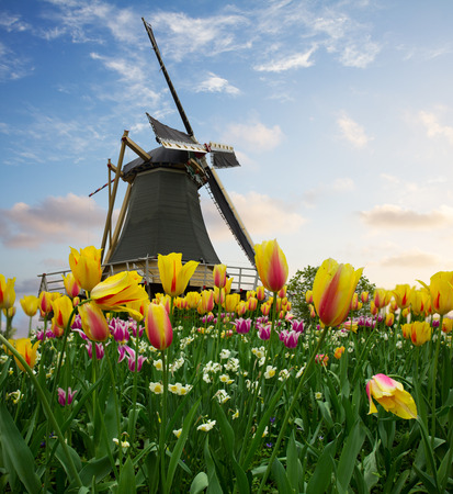 one dutch windmill over tulip flowers field in sunny day, Netherlands photo