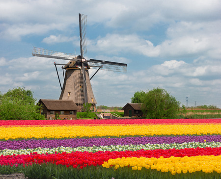 dutch culture: one dutch windmill over stripes of tulip flowers field in sunny day, Netherlands Stock Photo