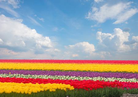 Famouse nederlands veelkleurige tulp veld met rijen met blauwe hemel