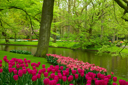Colorful spring lawn with mauve tulips  in  garden Keukenhof, Holland photo