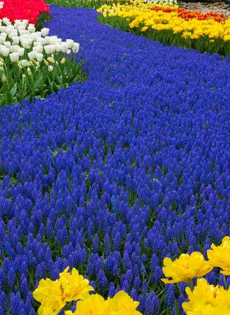 Blue spring  of flowers muskari  in holland garden Keukenhof, Netherlands photo