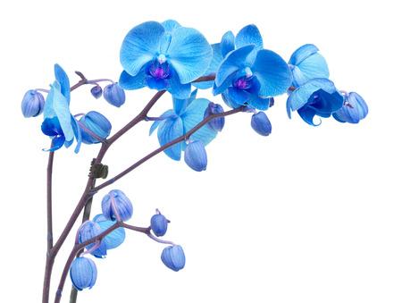 flores exoticas: ramificación de la orquídea con flores de color azul sobre fondo blanco