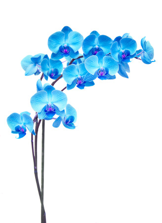 blue  orchid branch isolated on white background Banque d'images