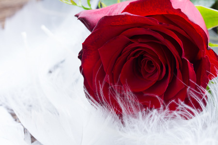 fresh red rose flower  with pure wtite feathers photo