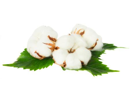 Three cotton plant buds Banque d'images