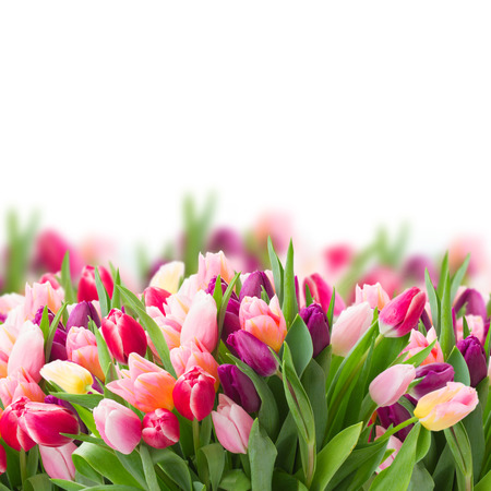 pink tulips: pink and violet tulips Stock Photo