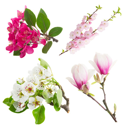 Blossoming fresh tree flowers against white background photo