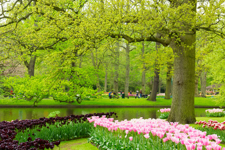 Colorful spring lawn with black and pink tulips  in  garden Keukenhof, Holland photo
