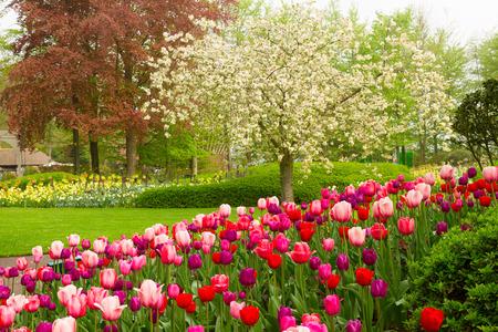 lente tuin met bloeiende boom abd tulpen, Keukenhof, Holland Stockfoto