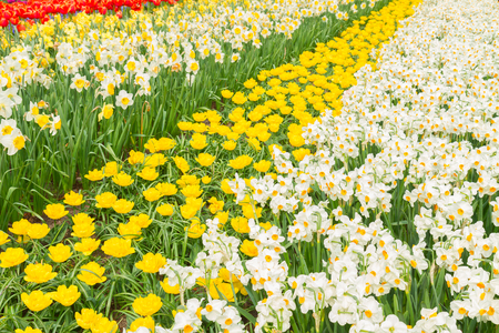 holland bright yellow tulip  and daffodil flowers  striped field photo