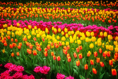 nature beauty: Stripes of multicolored   tulips flowerbed close up, retro toned Stock Photo