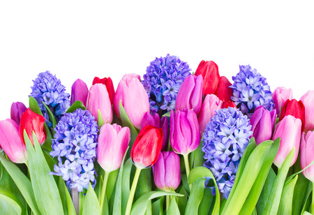 red tulip: blue hyacinth and  tulips border   isolated on white background