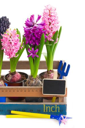 hyacinth: hyacinth in wooden pot