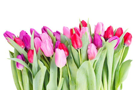 red pink: pile of fresh red, pink  and purple tulip flowers   isolated on white background