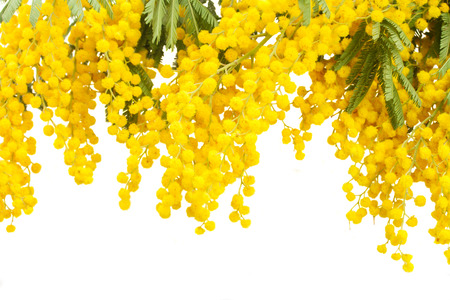 French mimosa Stock Photo
