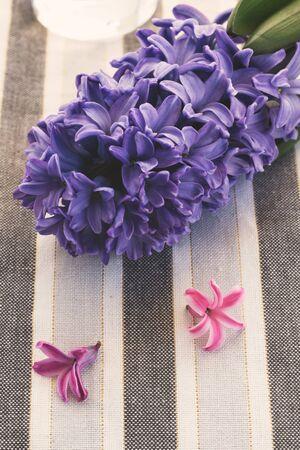 hyacinth: fresh hyacinth Stock Photo