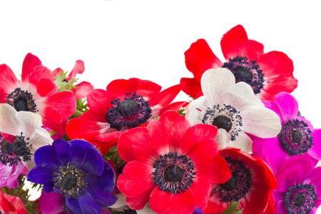 windflower: anemone flowers