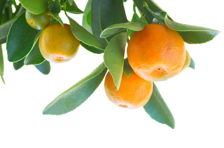tangerine tree: Tangerine tree