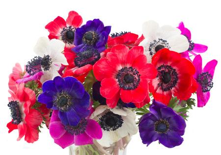 flor morada: azul, rosa y rojo flores de la anémona frescas aisladas sobre fondo blanco