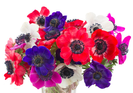 fresh  blue, pink  and red anemone flowers isolated on white background
