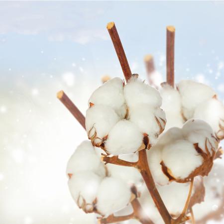 planta de algodon: Planta de algod�n sobre fondo blanco