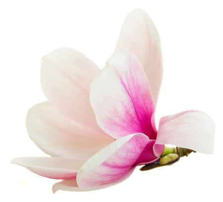 magnolia flower: Blossoming pink  magnolia Flowers Stock Photo