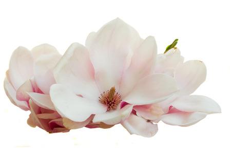 ピンクのマグノリアの花を咲かせて