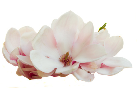 Blossoming pink  magnolia Flowers Stock Photo