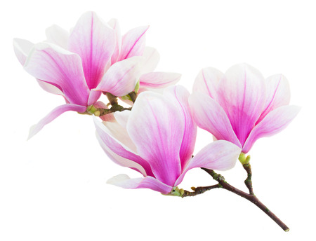the flower isolated: Blossoming pink  magnolia Flowers Stock Photo