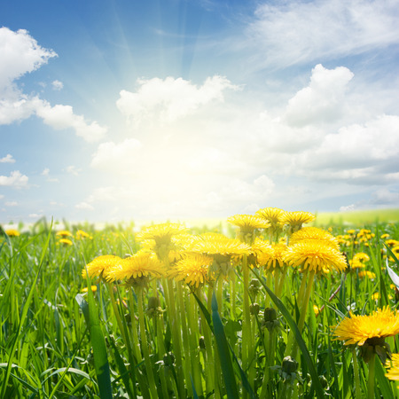 sunshine background: dandelion field