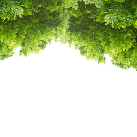 緑のカシの葉 写真素材 - 40209596