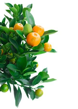 Arbre de Tangerine Banque d'images - 41366454