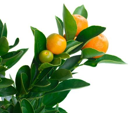tangerine: Tangerine tree