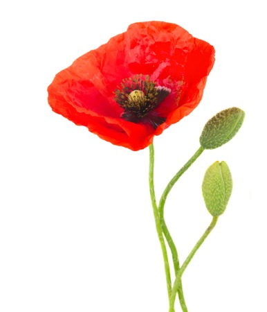 One poppy flower with buds isolated on white background stock photo poppy flower with buds isolated on white background photo mightylinksfo Images