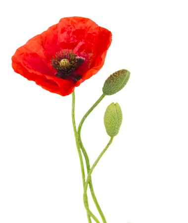 One poppy flower with buds isolated on white background