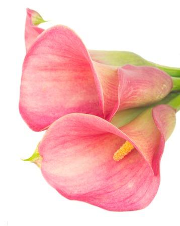calas blancas: Dos flores de cala lilly cerca aisladas sobre fondo blanco Foto de archivo