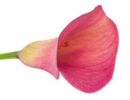 calas blancas: uno nuevo de la flor de la cala lilly aislado en fondo blanco