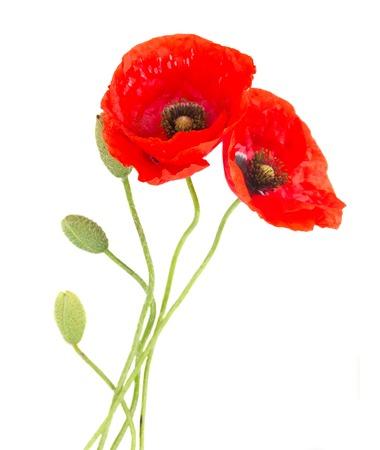 白い背景で隔離の芽と赤いケシの花