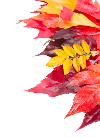 fall leaves border: Yellow, purple  and red Fall leaves border  isolated on white background
