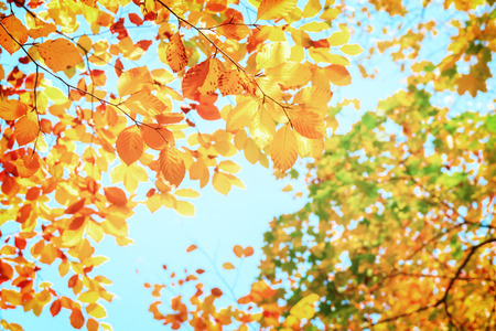 leaves of fall yellow cherry tree  in  autumn park, retro toned Stock Photo