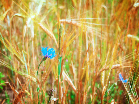 corn flower: summer wheat field with blue corn flower, retro toned